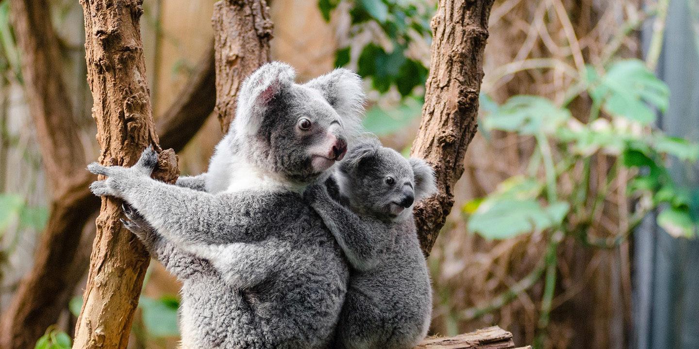 koala-1259681
